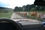 krowy beskidzkie