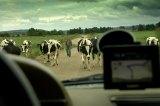 krowy nadbałtyckie